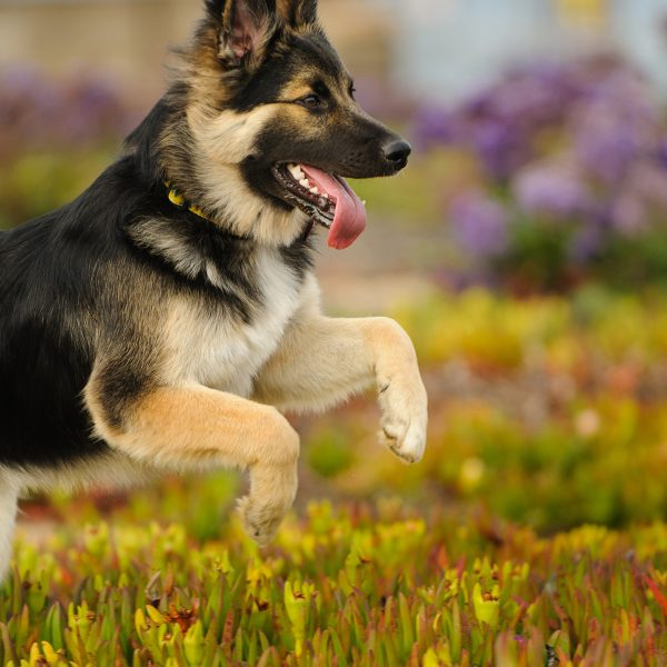 German Shepherd mix breed puppy running through ice plant field