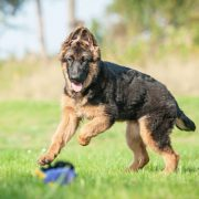 training-the-german-shepherd-puppy-57f510a313996